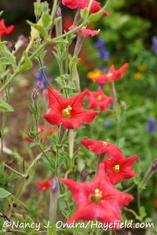 Petunia exserta [©Nancy J. Ondra/Hayefield.com]