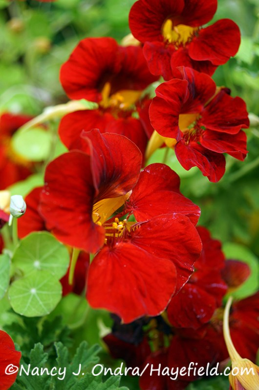 'Tip Top Mahogany' nasturtium (Tropaeolum majus) [©Nancy J. Ondra/Hayefield.com]