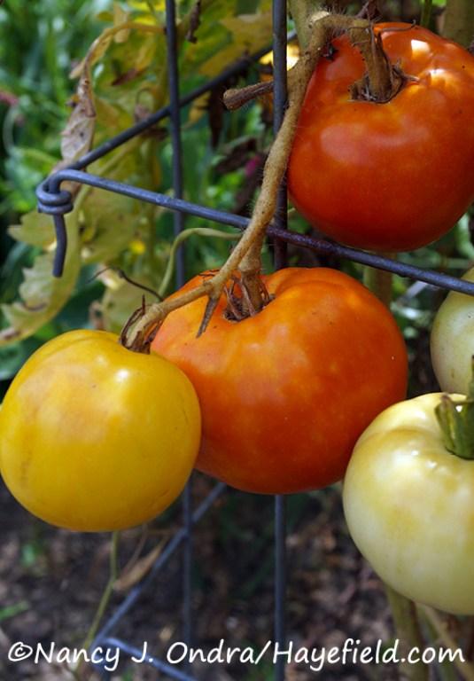 Tomato 'Lutescent' [Nancy J. Ondra/Hayefield.com]