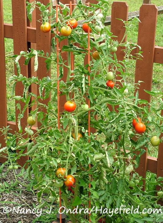 Tomato 'Variegata' [Nancy J. Ondra/Hayefield.com]