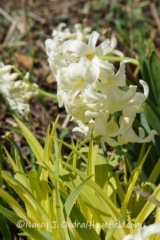 Hyacinthus 'Yellow Queen' [©Nancy J. Ondra/Hayefield.com]