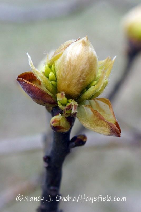 Sassafras albidum [©Nancy J. Ondra/Hayefield.com]