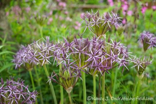 Allium christophii [©Nancy J. Ondra/Hayefield.com]