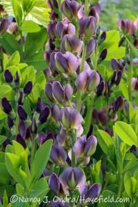 Baptisia 'Hayefield Hybrids' [©Nancy J. Ondra/Hayefield.com]