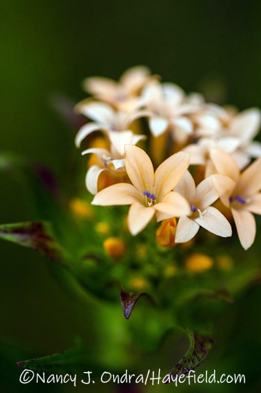Collomia grandiflora [©Nancy J. Ondra/Hayefield.com]