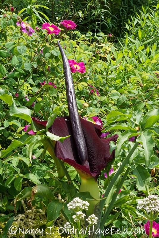 Dracunculus vulgaris [©Nancy J. Ondra/Hayefield.com]
