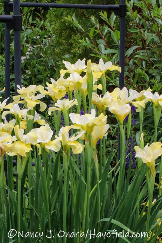 Iris sibirica 'Butter and Sugar' [©Nancy J. Ondra/Hayefield.com]