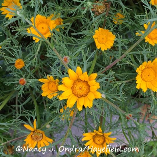Cladanthus arabicus [©Nancy J. Ondra/Hayefield.com]
