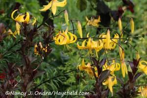 Lilium leichtlinii [©Nancy J. Ondra/Hayefield.com]