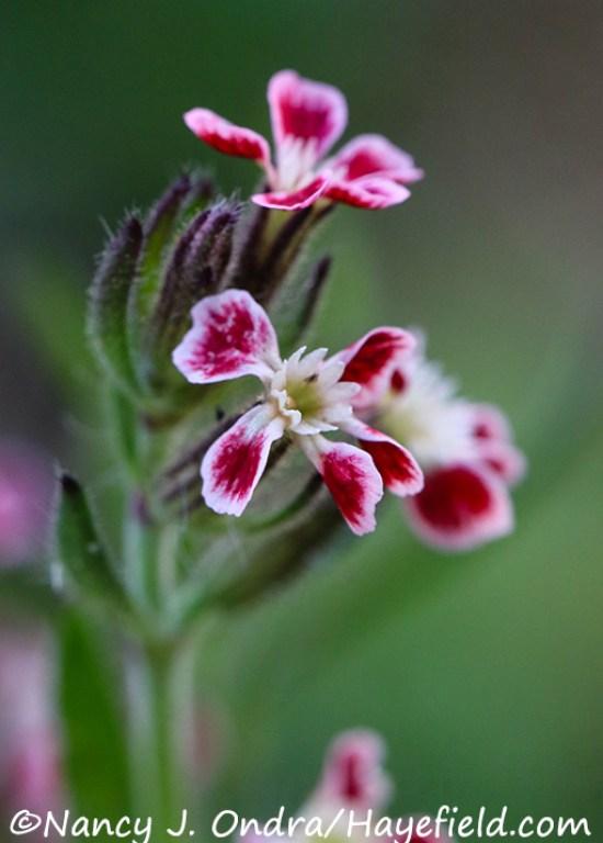 Silene gallica var. quinquevulnera [©Nancy J. Ondra/Hayefield.com]