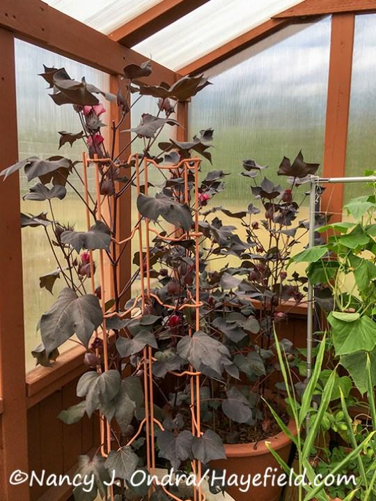 Gossypium herbaceum 'Nigrum' [Nancy J. Ondra/Hayefield.com]