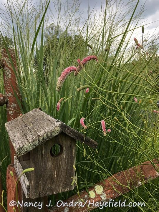 Sanguisorba tenuifolia 'Rosea' ('Hayefield Rose') [Nancy J. Ondra/Hayefield.com]