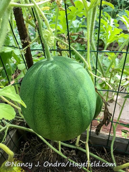 Watermelon (Citrullus lanatus) 'Cekirdegi Oyali' [Nancy J. Ondra/Hayefield.com]