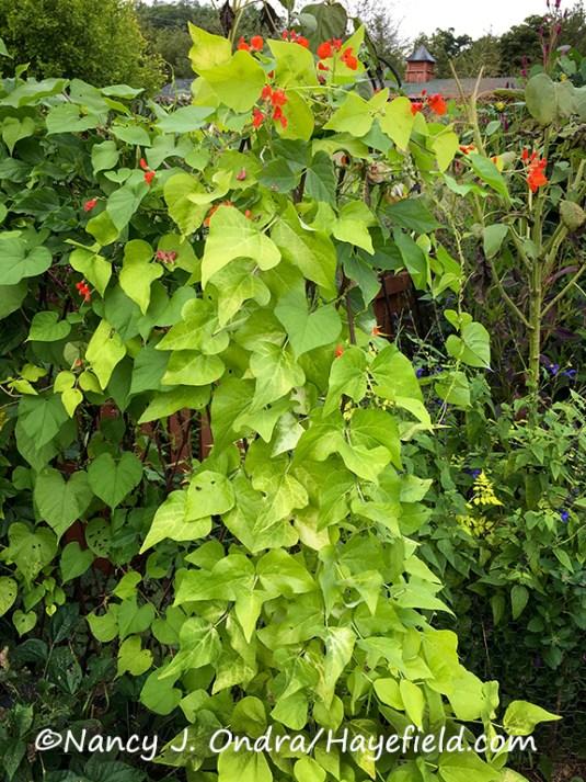 Phaseolus coccineus 'Golden Sunshine'