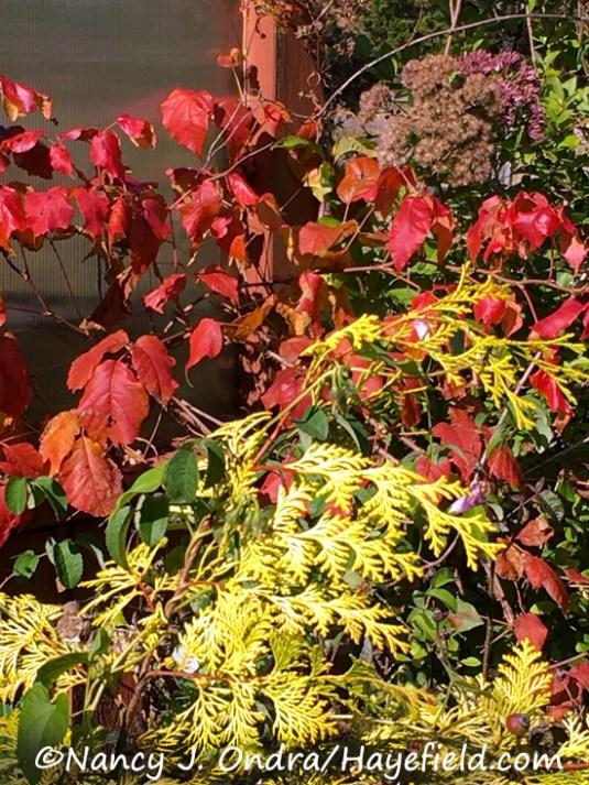 Toxicodendron radicans and Chamaecyparis obtusa 'Crippsii' [Nancy J. Ondra/Hayefield.com]