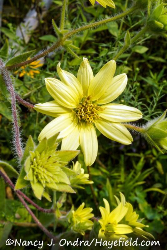 Silphium mohrii [Nancy J. Ondra/Hayefield.com]