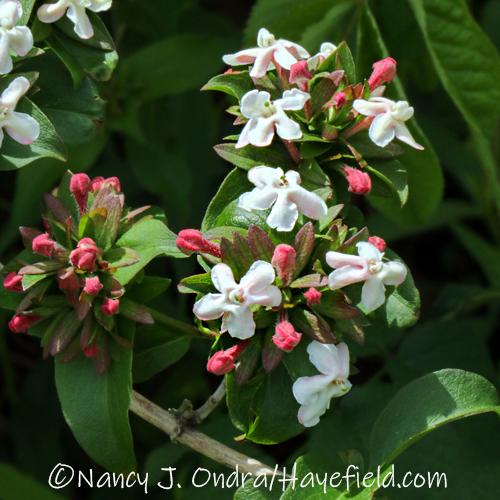 Abelia mosanensis [©Nancy J. Ondra/Hayefield.com]