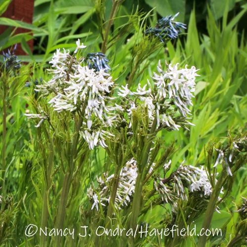 Amsonia hubrichtii white form [©Nancy J. Ondra/Hayefield.com]