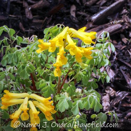 Pseudofumaria lutea [©Nancy J. Ondra/Hayefield.com]