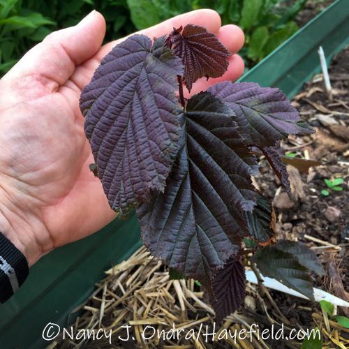 Corylus americana seedling with purple foliage [©Nancy J. Ondra/Hayefield.com]