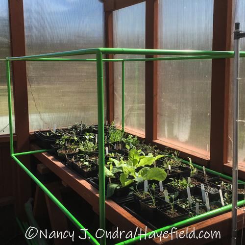Frame over seedlings in greenhouse [©Nancy J. Ondra/Hayefield.com]