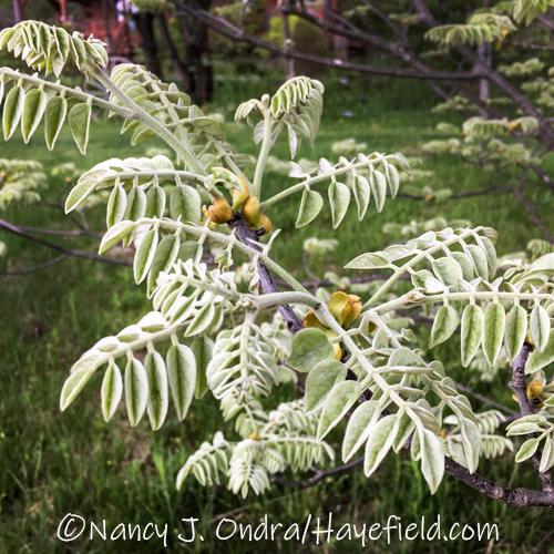 Maackia amurensis [©Nancy J. Ondra/Hayefield.com]