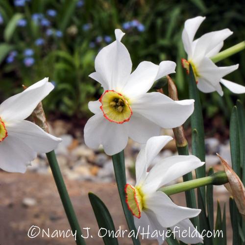 Narcissus 'Actaea' [©Nancy J. Ondra/Hayefield.com]