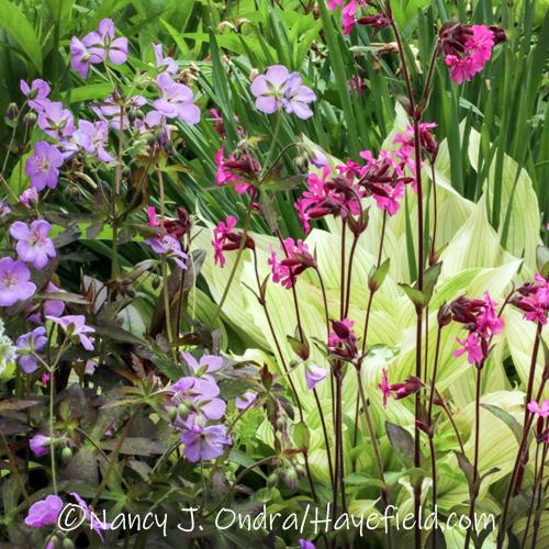 Geranium maculatum 'Espresso' and Silene dioica [©Nancy J. Ondra/Hayefield.com]