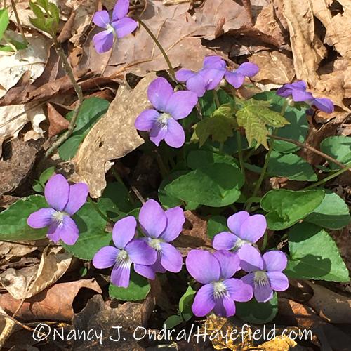Viola sororia, I think [©Nancy J. Ondra/Hayefield.com]