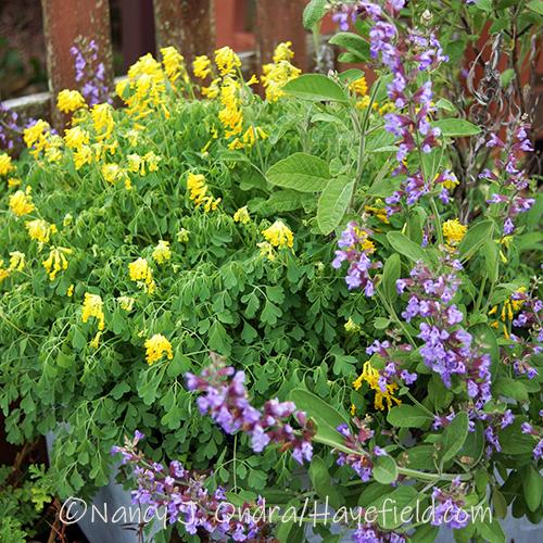 Pseudofumaria lutea [Nancy J. Ondra/Hayefield.com]