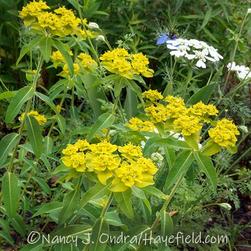 Euphorbia palustris 'Zauberflote' [Nancy J. Ondra/Hayefield.com]