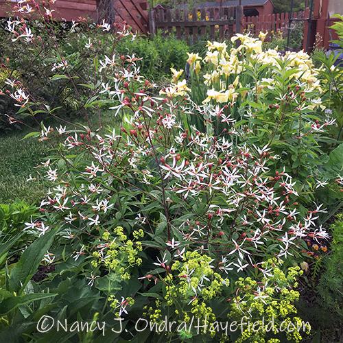 Gillenia trifoliata [Nancy J. Ondra/Hayefield.com]