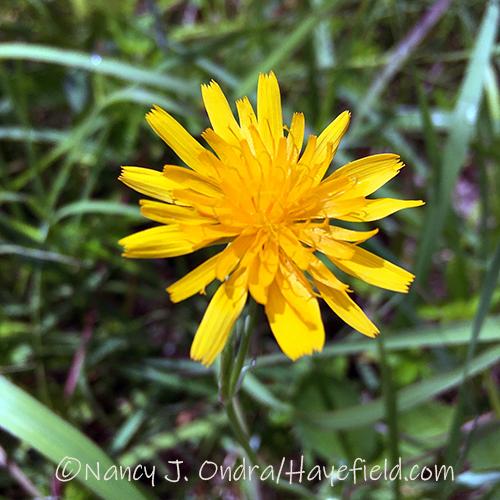 Krigia biflora [Nancy J. Ondra/Hayefield.com]
