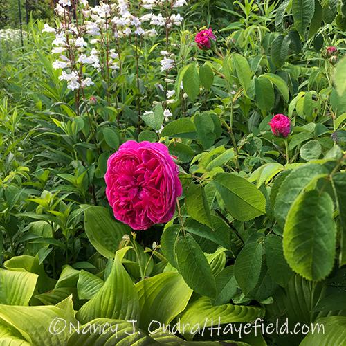 Rosa 'Belle de Crecy' [Nancy J. Ondra/Hayefield.com]