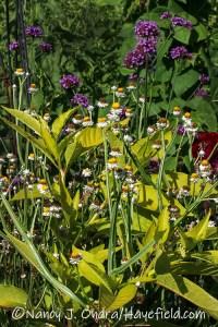 Ammobium alatum (winged everlasting) with Phytolacca americana 'Sunny Side Up' (golden pokeweed) [©Nancy J. Ondra/Hayefield.com]