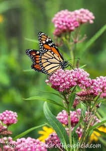 Asclepias incarnata (swamp milkweed) with monarch butterfly [©Nancy J. Ondra/Hayefield.com]