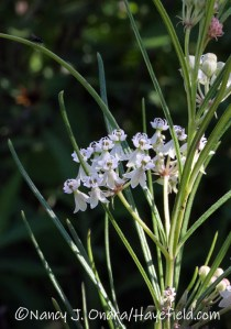 Asclepias verticillata (whorled milkweed) [©Nancy J. Ondra/Hayefield.com]