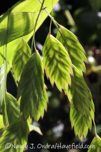 Chasmanthium latifolium (northern sea oats) [©Nancy J. Ondra/Hayefield.com]