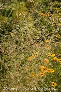 Deschampsia cespitosa (tufted hair grass) [©Nancy J. Ondra/Hayefield.com]