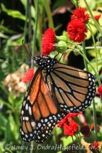 Emilia javanica 'Scarlet Magic' (tassel flower) with monarch butterfly [©Nancy J. Ondra/Hayefield.com]