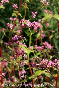 Fagopyrum esculentum 'Takane Ruby' (buckwheat) [©Nancy J. Ondra/Hayefield.com]