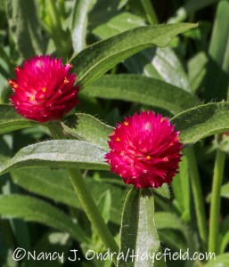 Gomphrena globosa (globe amaranth)---a hot pink form I am working on [©Nancy J. Ondra/Hayefield.com]