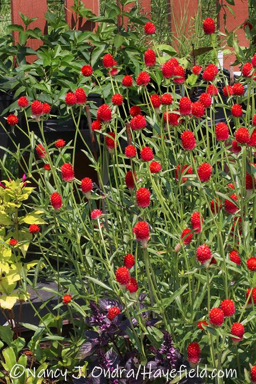 Gomphrena haageana 'Strawberry Fields' (globe amaranth) [©Nancy J. Ondra/Hayefield.com]