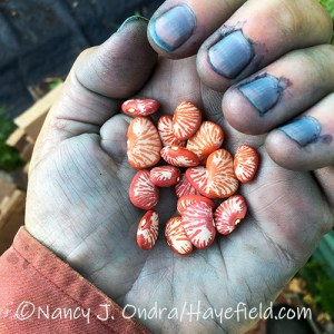 Phaseolus lunatus 'Ping Zebra' (lima bean) seeds---with blue fingers from dyeing with Persicaria tinctoria (Japanese indigo) [©Nancy J. Ondra/Hayefield.com]