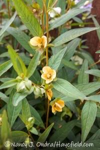 Ludwigia alternifolia (seedbox) [©Nancy J. Ondra/Hayefield.com]