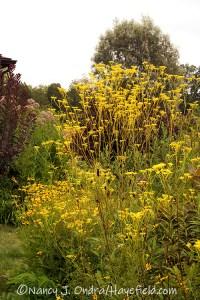 Patrinia scabiosifolia (golden lace) [©Nancy J. Ondra/Hayefield.com]