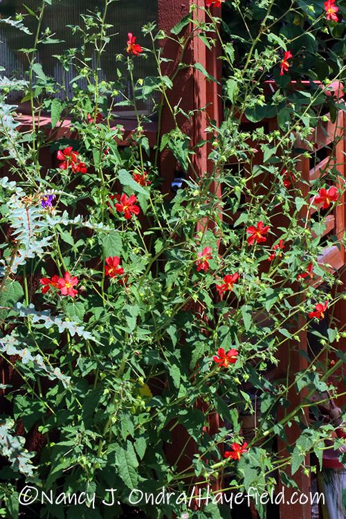 Pavonia missionum (red mallow) [©Nancy J. Ondra/Hayefield.com]