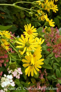 Silphium perfoliatum (cup plant) [©Nancy J. Ondra/Hayefield.com]