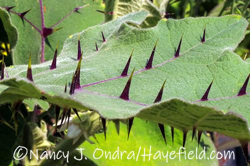 Solanum quitoense (bed of nails) [©Nancy J. Ondra/Hayefield.com]