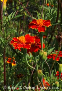 Tagetes patula 'Cinnabar' (French marigold) [©Nancy J. Ondra/Hayefield.com]